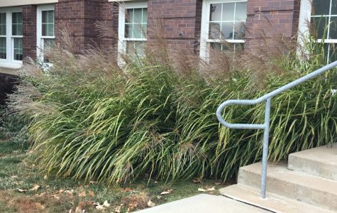 A small section of native tallgrass prairie plants in front of the Humanities building at Wayne State.
